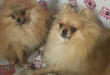 Pepe❤️Gioia Pomeranian / Pomeranian