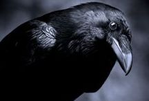 Crows and Ravens / Crows and Ravens