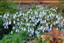 Цветы / Цветы, которые я выращиваю на даче