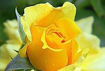 Yellow Roses...my precious memory. / by Trish McNaughton