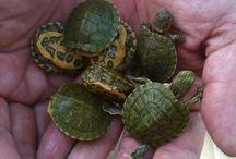 Turtles / I kinda really like turtles