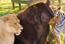 Unlikely Animal Friends / Some of the most unexpected animal friendships.