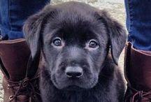 Dogs - Cane Corso