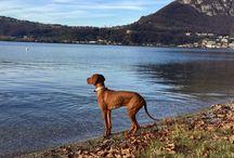 My Vizsla Tyson / Vizsla the best Dog bracco Ungherese