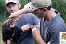 Tasmanian devils and Devil Ark keepers