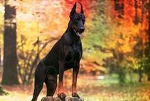 Beatiful Dobermanns / Dobermann