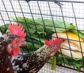 Ферма Животные Птицы / Ферма Животные Птицы|Ферма Идеи|Птицеводство|Животноводство|Курятник Своими Руками||