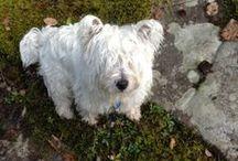 Westies / Friends for my dog Bilou - Des amis pour mon chien Bilou