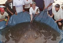 Stingray fishing Thailand / Photography from our Thailand Giant freshwater stingray fishing trips.