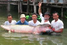 Arapaima fishing Thailand / Pictures of friends and clients captures whilst Arapaima fishing in Thailand with Fishsiam.