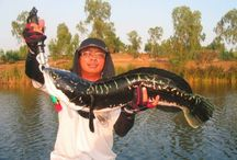 Snakehead fishing in Thailand / Photographs of Giant Snakehead and other Thailand fish species, fishing venues from our Thailand Snakehead fishing trips.