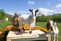 Gregarious Goats / Meet the lucky goats who call Woodstock Farm Animal Sanctuary home.