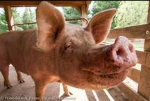 Precious Pigs / Meet some of the swell piggies who we are lucky to call friends at the Sanctuary!