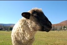 Supreme Sheep / Meet some of the wooly wonders we are lucky to have as friends at Woodstock Sanctuary!