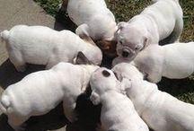 I want a bulldog and I shall call him Winston.