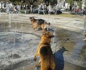 Water Dogs (German shepherd)