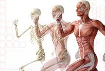 Crossfit Physiology / El Paso, TX. Chiropractor Dr. Alex Jimenez discusses crossfit and how it affects the body's bones and muscles.