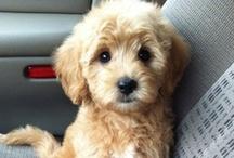 Goldendoodles / Goldendoodles!!!