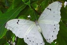 sommerfugler/butterflies
