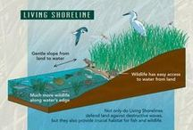"Living Shorelines / Coastal communities around the country face increasingly difficult and costly challenges due to sea-level rise, increased severity of storms, and similar problems. Historically, the response has been ""hard"" solutions, such as sea walls and bulkheads, which actually worsen storm hazard risks, erosion, and loss of habitat. Living shorelines are a suite of techniques using ""softer"" approaches that stabilize shorelines and provide valuable habitat for fish and wildlife."