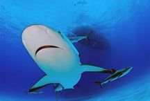 Sharks / We love sharks. Often misunderstood, they are vital parts of our oceans' ecosystems.