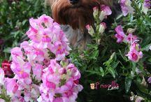 In Loving Memory of my Kiley & Mercy / Great Dogs