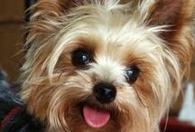 Yorkies / My favourite dog breed