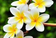 Flowers of Polynesia / flowers, flori, Polynesia, plumeria, hibiscus