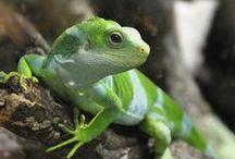 Lizard / Minden ami gyíkkal kapcsolatos. <3