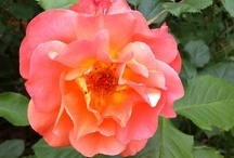 ~ stop & smell the roses ~ / The Rose Garden offers a representative collection of old-fashioned and landscape roses to visitors. These varieties are managed organically and are interplanted with appropriate perennials.