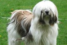 Our Beloved Tibetan Terriers -- FB Group / We are part of the Tibetan Terriers Facebook Group. We come from all corners of the globe and share a common bond in our mutual love for our beloved TTs. We're an open, fun loving, supportive group that loves to share information, photos and funny stories about our favorite canine breed. We invite you to join us at www.facebook.com/groups/tibetanterriers. Enjoy!