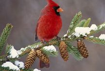 Cardinals / by Kerry Almasy