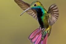Hummingbirds  / by Jennifer Playle