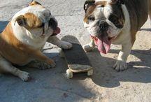 bulldogs - JD CHLOE DUKE REBELLA / For the love of Bulldogs