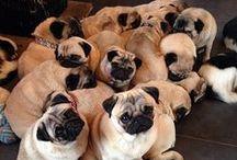 Pug love :) / Pugs!!!!