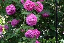 Irises and roses, perennials /  I  miss my roses and irises, and other perennials, - t