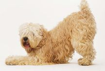 Wheatens / Beautiful, intelligent, wilful at times and great companions, Shandy and Flynn were great