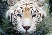 Big kitties! / Leopards, tigers, etc