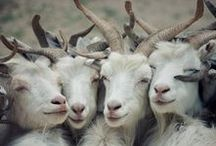 Goats. My favourite animal. / Goats.