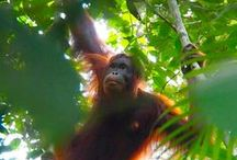 Orang Utans at Tanjung Puting Nationalpark / The dschungel of #Borneo are home you find these wonderful #primates! - www.weltreise2014.de -