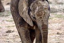i love elephants / by Staci Fugleberg