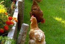 chooks / Ideas on housing and feeding chickens.