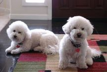 Love My Bichons / by Dorothy Lovecchio