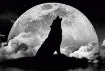 Photo de loups / Photo de #loup, animal critiqué mais également admiré mais surtout entouré par des mythes comme le #loup-garou ou la bête du Gévaudan