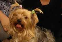 Mozi and other yorkie