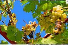 Provence en automne / La période estivale en Provence connaît souvent des prolongations, chevauchant l'automne avec ses grappes de raisins chatoyantes et son ciel azur