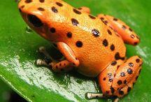 love frogs / Saponguinhas