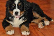 My girl ❤️ Bernese / Bernese mountin dog