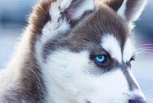 My Siberian husky ❤️