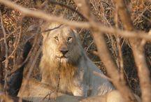 Krugerpark South Africa / Animals in Krugerpark. Krugerpark S Africa 31/7 -  4/8 2014